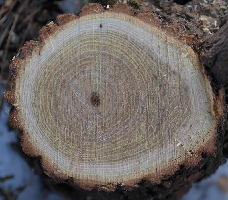 lemnul de salcâm